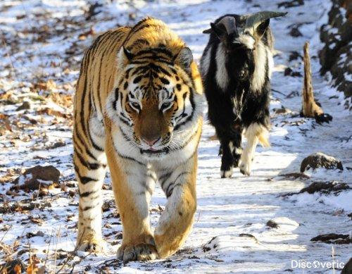 Козел Тимур потолстел за время дружбы с тигром Амуром